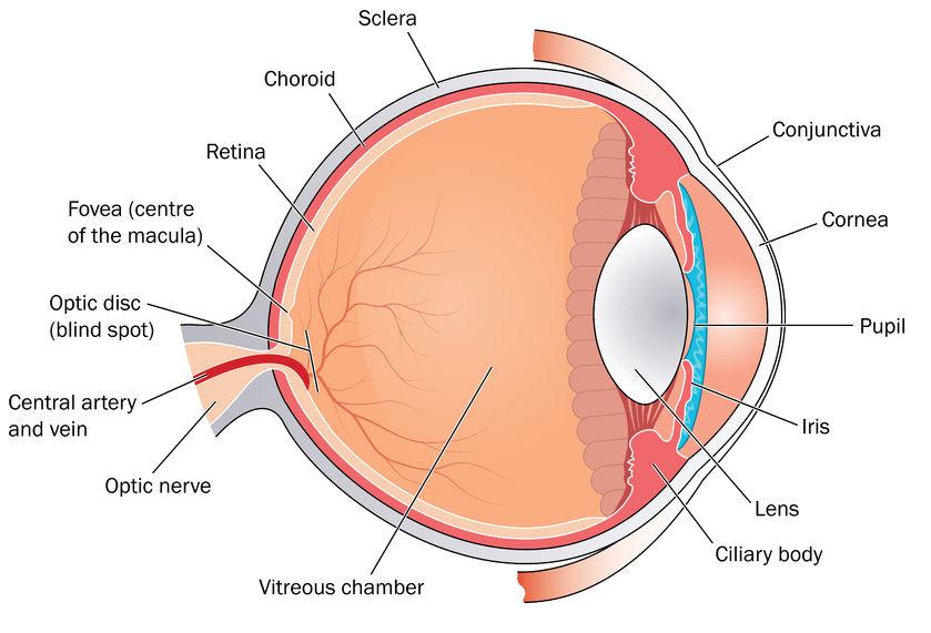 L'œil, un organe de haute technologie